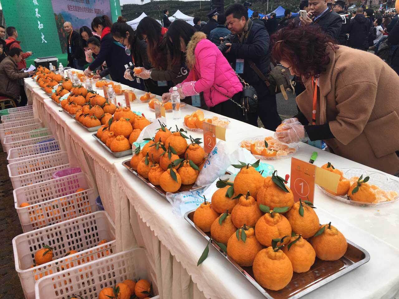 丑橘产地比赛