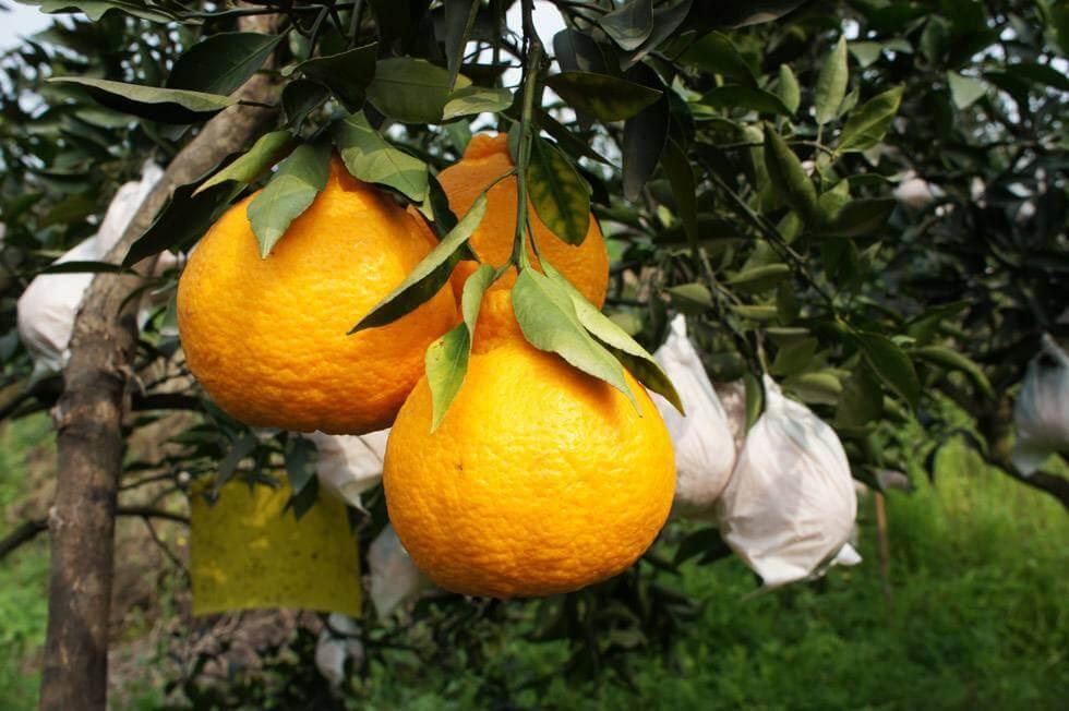 丑橘树上照片
