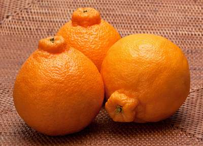 正宗的丑橘图