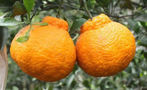 正宗丑橘图