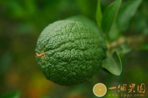 丑橘幼果图片