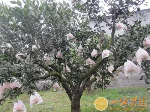 丑橘果树4
