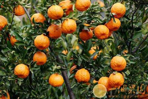 假冒丑橘图片4