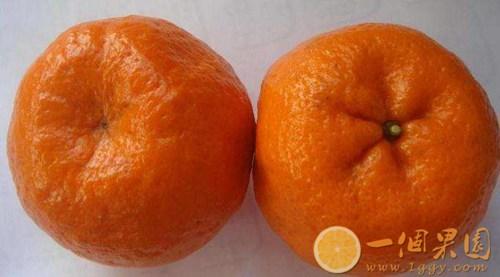 假冒丑橘图片5