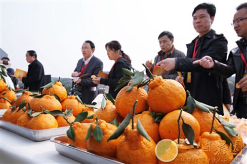 精品丑橘图片2