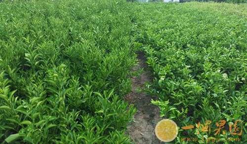 丑橘果树2