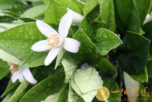 丑橘花期图片