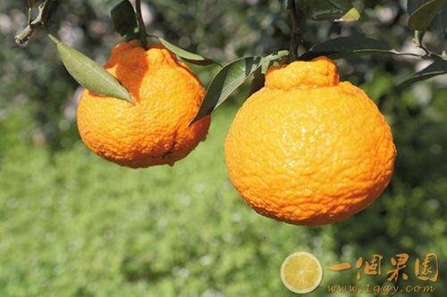 精品丑橘图片1