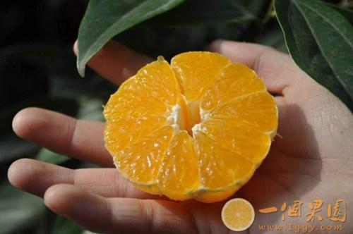 丑橘果肉5