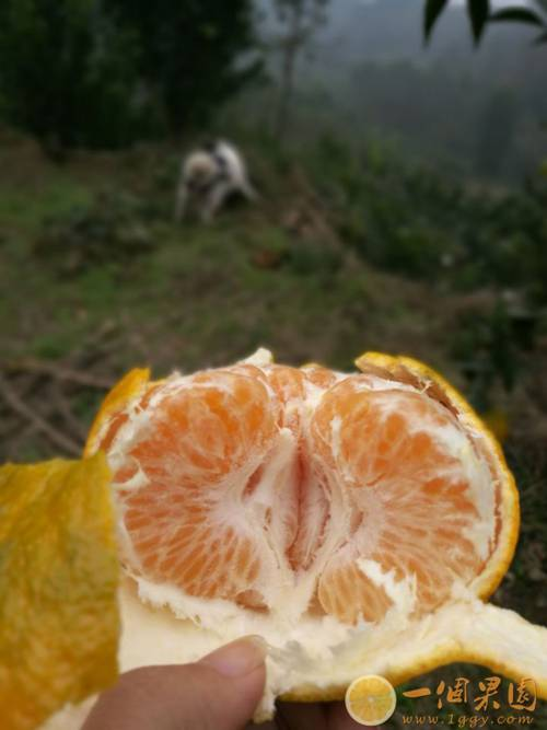 耙耙柑果肉2