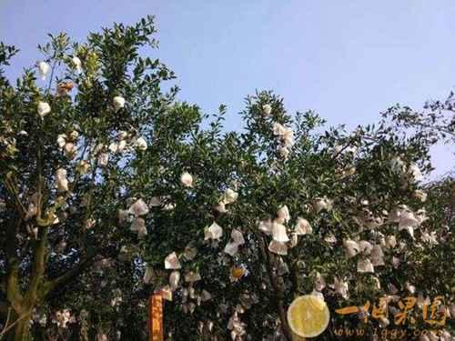 耙耙柑果树3