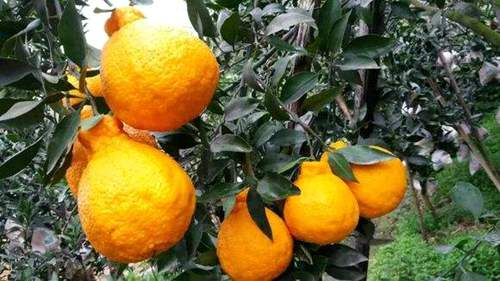 丑橘树上图