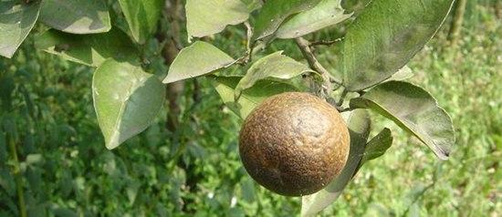 柑橘锈壁虱