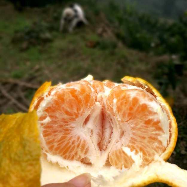 耙耙柑果瓣