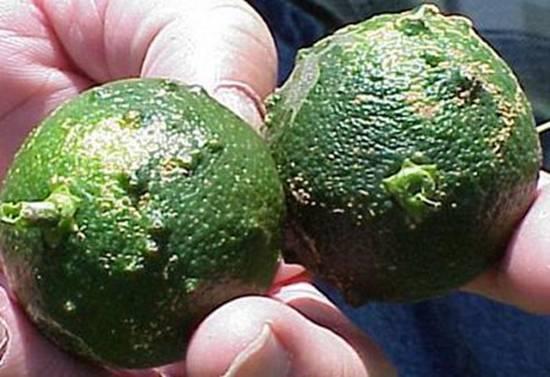 柑橘疮痂病