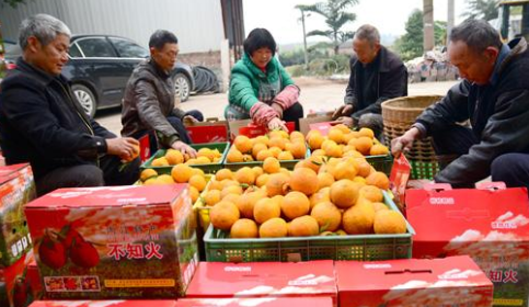桔农在整理丑橘