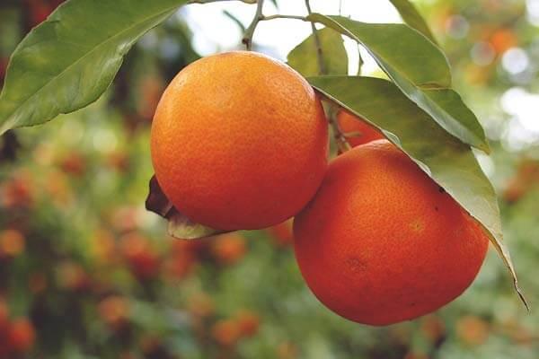 果冻橙百科知识