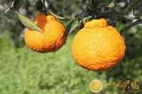 丑橘图片-精品篇